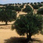 Sfax_oliviers-300x200